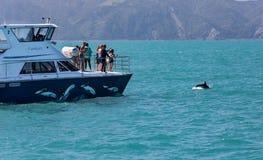 O barco da excursão olha saltar obscuro do obscurus de Lagenorhynchus do golfinho da água perto de Kaikoura, Nova Zelândia fotografia de stock