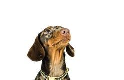 O bassê que de mármore curto o cão se senta está olhando acima, cão de caça, isolou-se no fundo branco Imagens de Stock