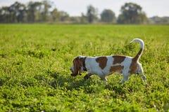 o Basset-cão anda no campo Foto de Stock Royalty Free