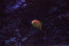 O basslet feericamente alaranjado igualmente chamou o squamip de Pseudanthias do goldie do mar fotos de stock royalty free