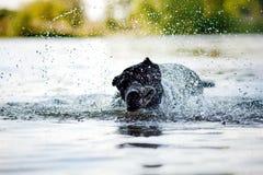 O bastão Corso do cão agita fora a água Imagens de Stock Royalty Free