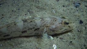 O batrachocephalus de Mesogobius do góbio de Knout dos peixes de mar encontra-se na parte inferior coberta com as conchas do mar filme