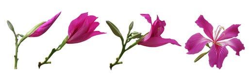 O Bauhinia floresce fases Foto de Stock Royalty Free
