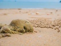 O bebedoiro automático da areia Crabs a subfamília científica: Ceratophthalmus de Ocypode foto de stock royalty free