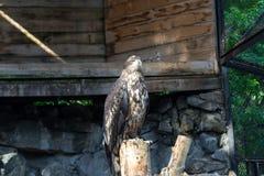 O berkut da águia dourada senta-se em uma árvore imagens de stock royalty free