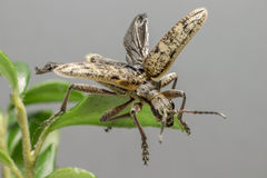 O besouro blackspotted do apoio dos alicates (mordax de Rhagium) fotografia de stock