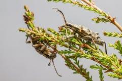 O besouro blackspotted do apoio dos alicates (mordax de Rhagium) imagem de stock