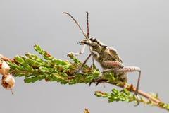 O besouro blackspotted do apoio dos alicates (mordax de Rhagium) fotos de stock