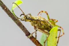 O besouro blackspotted do apoio dos alicates (mordax de Rhagium) Foto de Stock