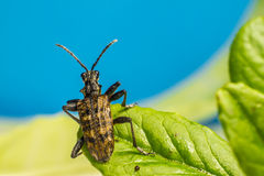 O besouro blackspotted do apoio dos alicates (Rhagium mo imagem de stock