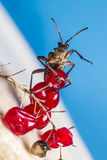 O besouro blackspotted do apoio dos alicates (Rhagium mo imagem de stock royalty free