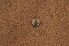 O besouro com uma grande parte traseira lisa preta escava na areia fina fotos de stock royalty free