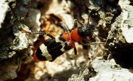 O besouro da formiga na casca de vidoeiro Fotos de Stock Royalty Free