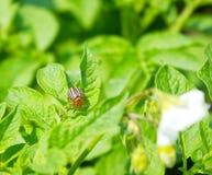 O besouro de batata de Colorado Foto de Stock Royalty Free