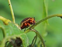 O besouro de Colorado come as folhas verdes das batatas Tiro macro da praga nos arbustos do nightshade O inseto listrado destrói  fotografia de stock royalty free