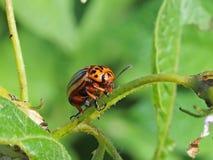 O besouro de Colorado come as folhas verdes das batatas Tiro macro da praga nos arbustos do nightshade O inseto listrado destrói  foto de stock