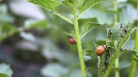 O besouro de Colorado come batatas imagens de stock royalty free