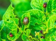 O besouro de Colorado na folha da batata, larvas que alimentam na batata folheia, Colorado come a folha da batata Imagem de Stock