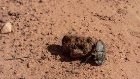 O besouro de estrume rola a fezes foto de stock