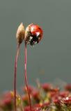 O besouro de joaninha escala para baixo Imagens de Stock