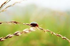 O besouro de joaninha que anda na planta de arroz imagem de stock