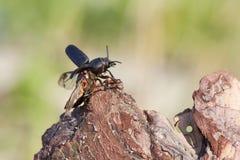 O besouro decola moscas Fotos de Stock