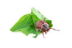 O besouro europeu ou pode desinsetar (o melolontha do Melolontha) Imagem de Stock