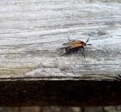 O besouro europeu/pode desinsetar 1 Imagem de Stock Royalty Free