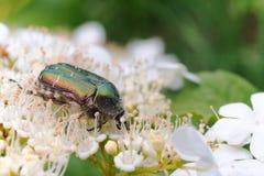 O besouro Melonlotha de maio nas folhas frescas de uma árvore poliniza flores Fotos de Stock Royalty Free