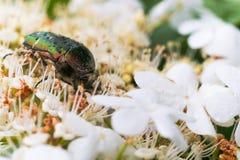 O besouro Melonlotha de maio nas folhas frescas de uma árvore poliniza flores Fotografia de Stock