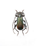 O besouro metálico do longhorn isolado no branco Fotos de Stock Royalty Free