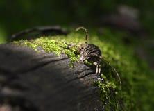 O besouro no tronco Imagem de Stock