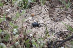 O besouro rola o estrume no campo imagem de stock
