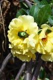 O besouro senta-se em uma rosa amarela Foto de Stock
