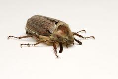 O besouro sobre o branco Fotografia de Stock Royalty Free