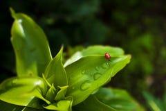 O besouro vermelho senta-se em uma folha verde Fotografia de Stock