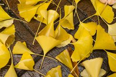 O biloba amarelo da nogueira-do-Japão deixa o encontro na terra molhada Fotografia de Stock