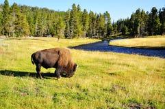 O bisonte Fotos de Stock
