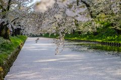 O blizzardHanafubuki da flor de cerejeira e o carpetHanaikada da cereja no fosso exterior de Hirosaki estacionam, Aomori, Tohoku, Fotos de Stock Royalty Free