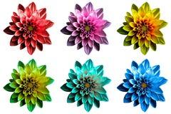 O bloco do dahila escuro surreal colorido do cromo floresce o macro isolado imagens de stock royalty free