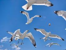 O bloco do pão bonito das capturas das gaivotas Fotografia de Stock