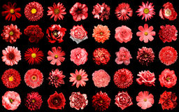 O bloco mega do vermelho natural e surreal floresce 40 em 1 isolado Fotografia de Stock Royalty Free