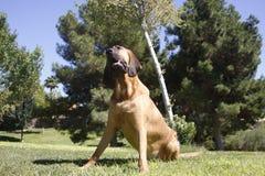O Bloodhound inclinou o pose principal Imagens de Stock