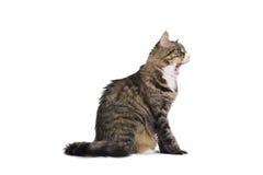 O bocejo Stripy do gato isolou-se Foto de Stock Royalty Free