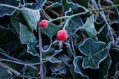 O bonito congelado dois gooseberryes vermelhos Imagens de Stock