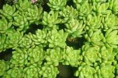 O bonsai de uma planta meaty é muito bonito foto de stock