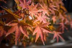 O bonsai do bordo japon?s sae na esta??o do outono imagem de stock royalty free