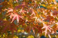 O bonsai do bordo japon?s sae na esta??o do outono fotos de stock