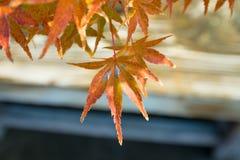 O bonsai do bordo japon?s sae na esta??o do outono fotos de stock royalty free