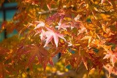 O bonsai do bordo japon?s sae na esta??o do outono foto de stock royalty free